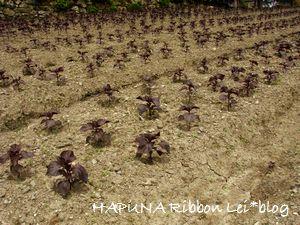 大原 枯れ畑の赤紫蘇